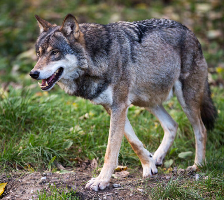 Help, een wolf!