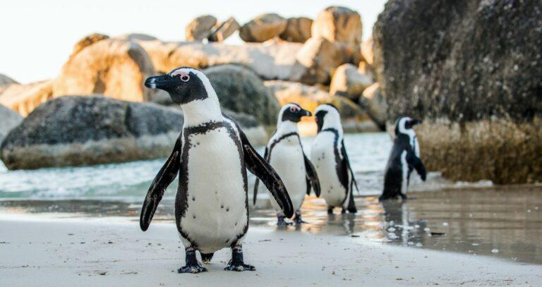 Pinguine in Chicago haben Spaß
