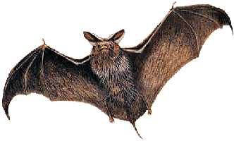 Lesstarter biologie: Vleermuizen
