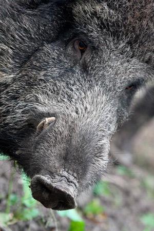 Lesstarter Biologie: Wild zwijn