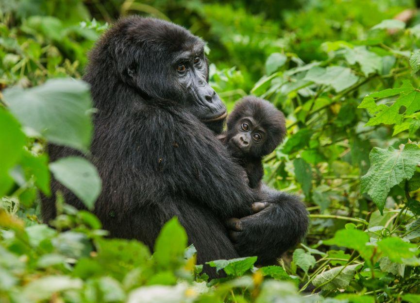 Duits actueel Malmberg Na Klar Gorilla met baby