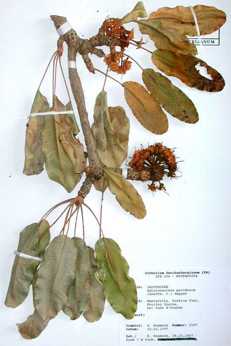 Allium ampeloprasum, kun je dat eten?